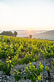 Sunrise in northern Chablis