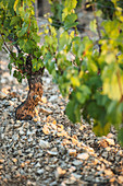 Jurassic limestone terrain is a perfect match for Chardonnay