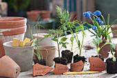 Gemüse- Jungpflanzen ausgetopft