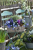 Korb mit Strahlen-Anemonen, Hyazinthen und Thymian auf Stuhl im Garten