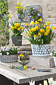 Terrassen-Arrangement mit Narzissen, Hornveilchen und Traubenhyazinthen