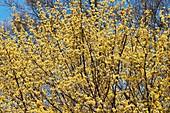 Cornelian cherry dogwood (Cornus mas 'Spring Glow')