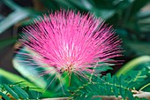 Surinam Powderpuff (Calliandra surinamensis)