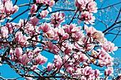 Saucer magnolia (Magnolia x soulangeana)