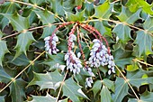 Beale's barberry (Mahonia bealei)