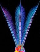 Mayfly nymph caudal tails, light micrograph