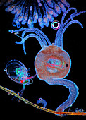 Hydra, water flea and rotifers, light micrograph
