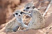 Young meerkats at play