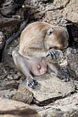 Long-tailed macaque using tool