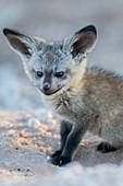 Bat-eared fox pup
