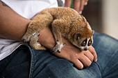Pygmy loris exploitation at a Thai market