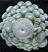 Cactus, Epithelantha micromeris
