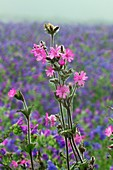 Red campion flowers in a meadow