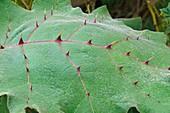 Naranjilla leaf (Solanum quitoense)