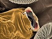 Salmon louse mouth, SEM