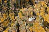 Herring gull on nest, Skomer Island, Pembrokeshire, UK