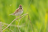 Female reed bunting with damselfly