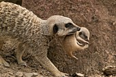 Captive mother meerkat carrying young