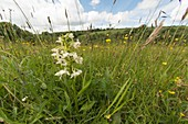 Greater butterfly orchid (Platanthera chlorantha), UK