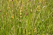 Yellow rattle (Rhinanthus minor) flowering spike, UK