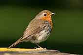 European robin, Wales, UK