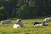 White park cattle, Dinefwr Park, Llandeilo, Wales, UK