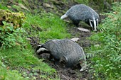 Badgers, Dinefwr Park, Wales, UK