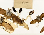 Preserved bats