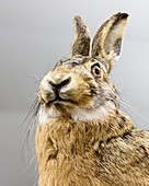 Preserved hare