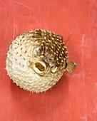 Preserved pufferfish