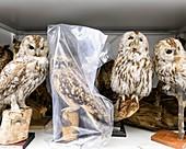 Preserved owls