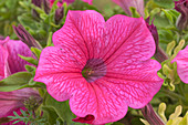 Petunia 'Surfinia Hot Pink' flower