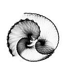 Argonaut shell, X-ray