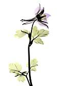 Columbine (Aquilegia sp.) flower, X-ray