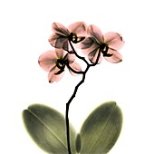 Orchid flower, X-ray