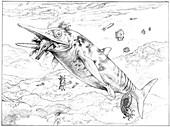 Temnodontosaurus ichthyosaur and prey, illustration