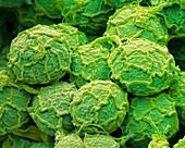 Botryococcus alga, SEM