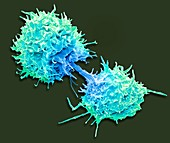Dividing T lymphocytes, SEM