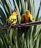 Sun parakeet breeding pair