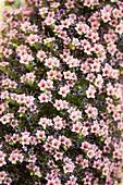 Tower of Jewels (Echium wildpretii)