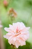 Rose (Rosa 'Perle d'Or')