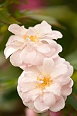 Rose (Rosa 'Natchitoches Noisette')