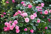 Rose (Rosa 'Excellenz Von Schubert')
