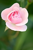 Rose (Rosa 'Mrs. R.M Finch')
