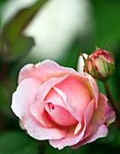 Rose (Rosa 'Gruss an Aachen')
