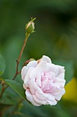Rose (Rosa 'Marie Daly')