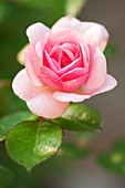 Rose (Rosa 'Mrs. R.M Finch')