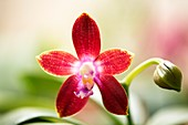 Orchid (Phalaenopsis Tying Shin Fly Eagle 'Wilson')