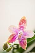 Phalaenopsis Yaphon Oh Mygod Happy Eagle x tetraspis