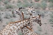 Male giraffes necking